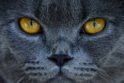 Focused on the gray cat's eyes,close-up