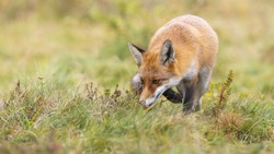 Focused red fox, vulpes vulpes, hunting on a green meadow and sniffing with head down above ground. Wild mammal with orange fur licking with pink tongue in nature from front view with copy space.