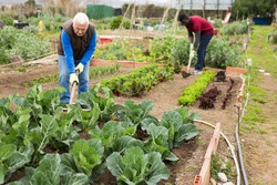 Focused senior man working with hoe in kitchen garden, hoeing soil on vegetable rows..