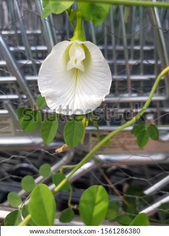 Focused shot of White Clitorial Flower