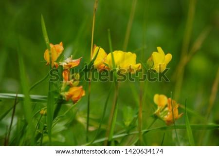 Focused to yellow blossom Vicia lutea