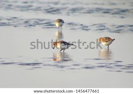 Foeragerende Lepelbekstrandloper; Foraging Spoon-billed Sandpiper