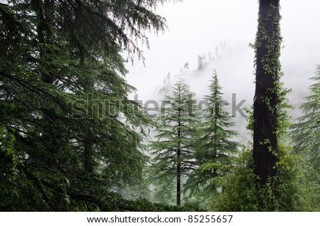 fog after rain in wild forest, North India,  Himalayan