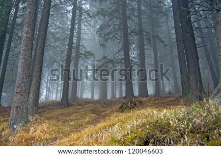 Fog in fir tree forrest