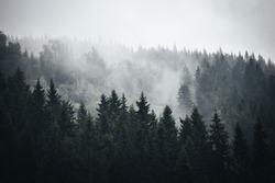 Fog in Norwegian Forrest
