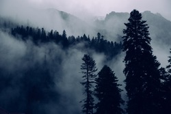 Fog in the mountains, blue spruces in twilight