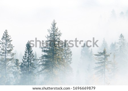 Fog over spruce forest trees at early morning. Spruce trees silhouettes on mountain hill forest at autumn foggy scenery.
