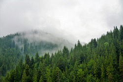 Fog over the coniferous forest
