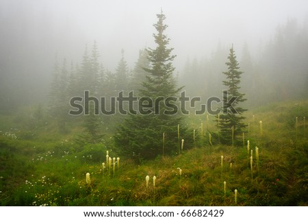 Fog sets in among beargrass and forest along Going to the Sun Road, Glacier National Park