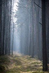 Foggy autumnal morning in an old pine forest near Nidzica, Mazury region, Poland. Foggy landscape and mystical mood. Selective focus on the plants, blurred background.