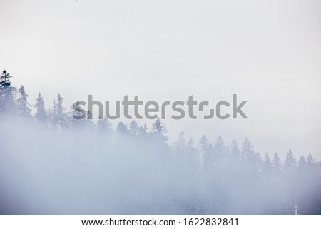Foggy forest minimal with pine trees.