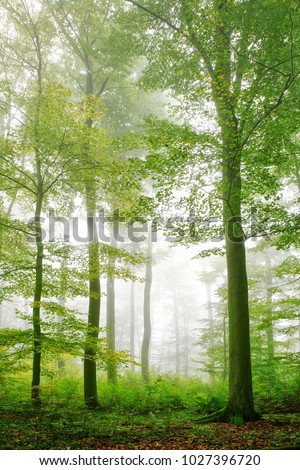 Foggy forest of beech trees - Shutterstock ID 1027396720