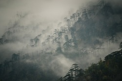 Foggy forest of tall pine trees. Blurry moody scenery with tree silhouettes