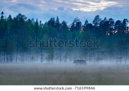 Foggy forest with brown bear hidden in the grass. Beautiful brown bear walking around lake with autumn colours. Dangerous animal, nature forest and meadow habitat. #716599846