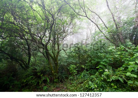Foggy haunted forest on the Northern California coast