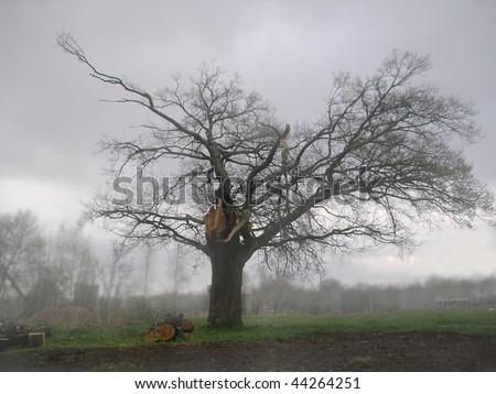 Foggy landscape with broken oak