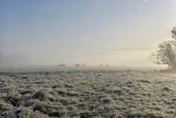 Foggy Misty Morning - Cows Grazing in Frosted Meadow
