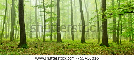 Foggy Natural Forest of Oak and Beech Trees #765418816
