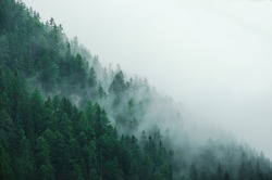 Foggy pine forest in Switzerland.
