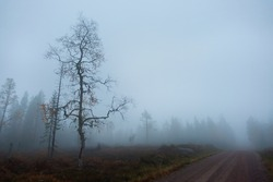 Foggy Scandinavian landscape in forest with country road and almost bare birch tree in autumn evening. Young moose curiously watching in foggy background.