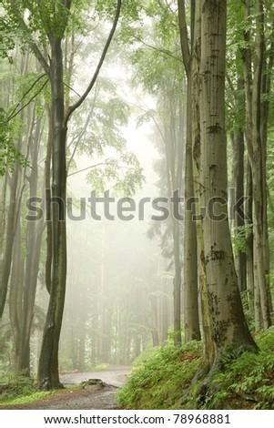 Foggy spring morning in the beech forest on the slope during rainfall.