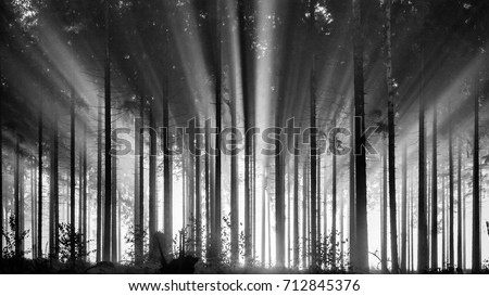 Foggy spruce forest in the morning, monochrome, black and white. Misty morning with strong sun beams in a spruce forest in Germany, near Bad Berleburg, Rothaargebirge. High contrast and backlit scene.