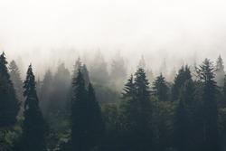 Foggy Treeline Douglas Firs Forest