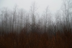 foggy trees in a forest