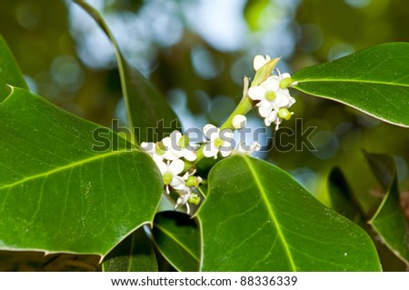 Foliage and flowers of holly (Ilex aquifolium)