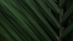 Foliage dark green eco fresh flora closeup leaves Brazil rainforest palm tree exotic background beautiful creative tropic wallpaper