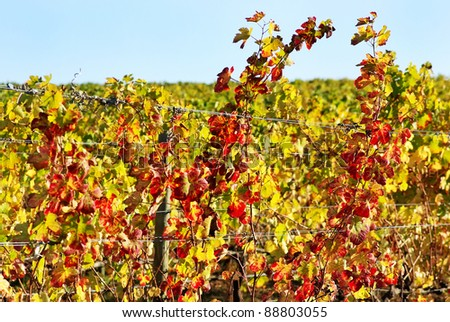 Foliage of autumn vineyard