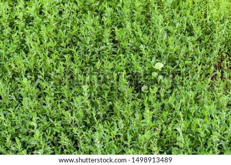 Foliage of Polygonum aviculare as a botanical background or pattern.