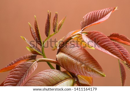 foliage of young walnut on a dark beige background. #1411164179