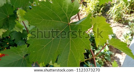 foliage, summer foliage, foliage of grapes #1123373270