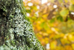 Foliose lichen (one of a variety of lichens, which are complex organisms that arise from the symbiotic relationship between fungi and a photosynthetic partner)