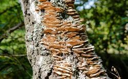 Fomes fomentarius, tinder wood-destroying parasitic fungi in their natural habitat. Useful tinder fungi for human health
