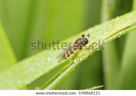 Food aphid fly with beautiful dew on the stems of the plant, in the wild nature