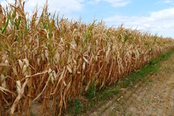 Food Crisis, Global Warming, Drought - dry corn field in august 2018 near Weinheim, Southern Germany