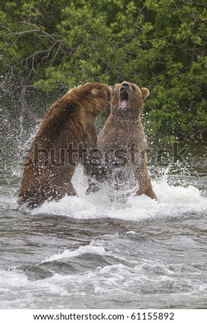 Food Fight - Two male grizzly bears fight over who owns this particular salmon fishing spot. Brooks river, Katmai National Park, Alaska.