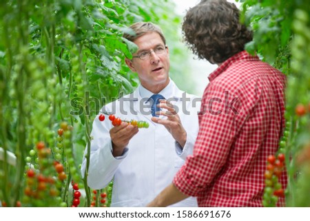 Food scientist and grower examining tomatoes ripening on vine