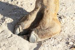 Foot of a Camel in Oman