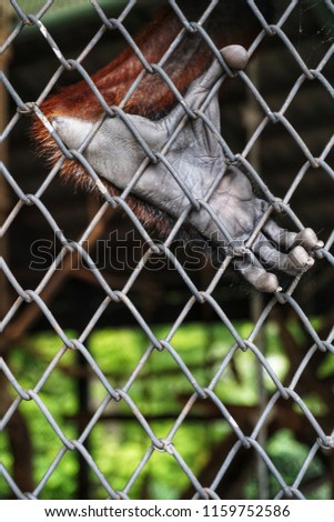 """Foot of a red-shanked douc langur in the cage. It is a species of Old World monkey, among the most colourful of all primates. It is sometimes called the """"costumed ape"""" for its extravagant appearance. #1159752586"""