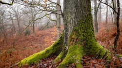 Foot of an oak in a wild forest in France. Trunk anchored in the ground. Bark and thick roots and buttress covered with green moss. In the background, undergrowth of red ferns and winter fog