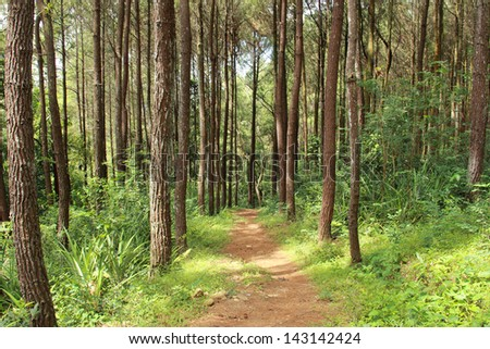 footpath in nature landscape of a beautiful Pine forest