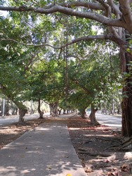 Footpath in the middle of the road lined with the trees with thick roots spreading over the ground in Havana. Shadows of trees create pattern of branches and leaves on the ground