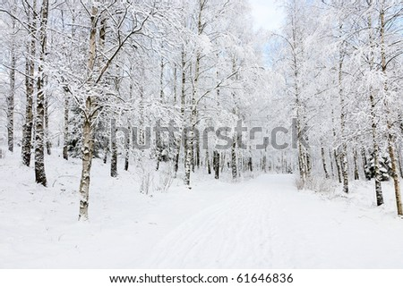 Footpath through birch tree forest