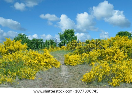 Footpath through flowering Broom on Ruegen,baltic Sea,Mecklenburg western pomerania,Germany