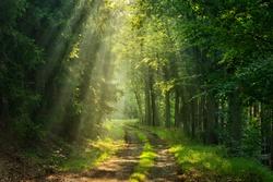 Footpath through Forest illuminated by Sunbeams through Fog
