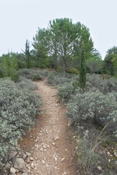 Footpath through sage plants in pine and fir tree forest.