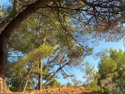 Footpath to Pinery. Road to conifer forest.  Pine trees in coniferous dense forest Mediterranean coast at sunny summer day. Lush pines branches. Evergreen pine and fir-trees. Beautiful conifer trees.